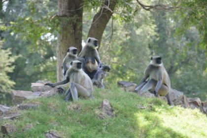 インドの野生猿「ハヌマーン」