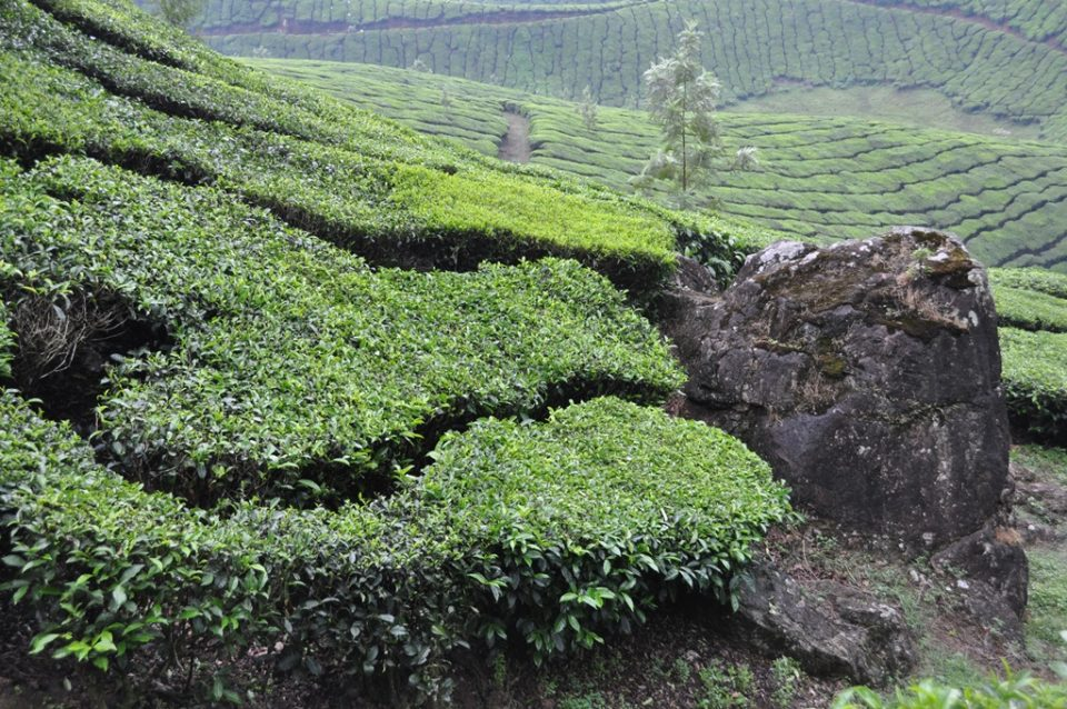 ムナールの茶畑